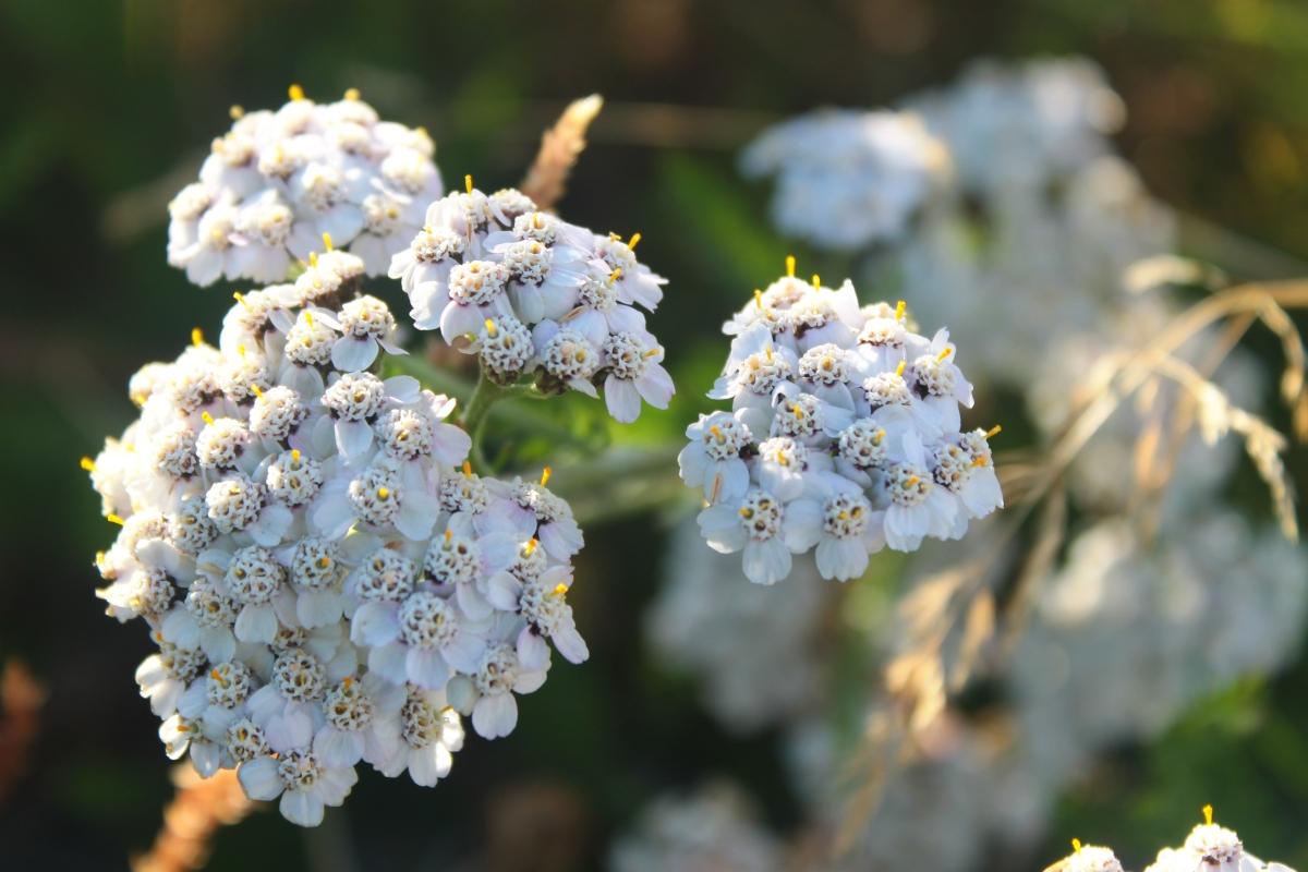 Icelandic medicinal herbs #3 Yarrow